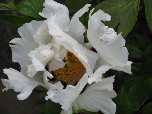 Цветки белые с оттенком слоновой кости