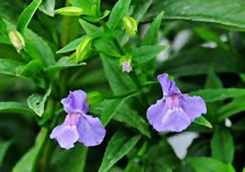 Сине-фиолетовые цветки