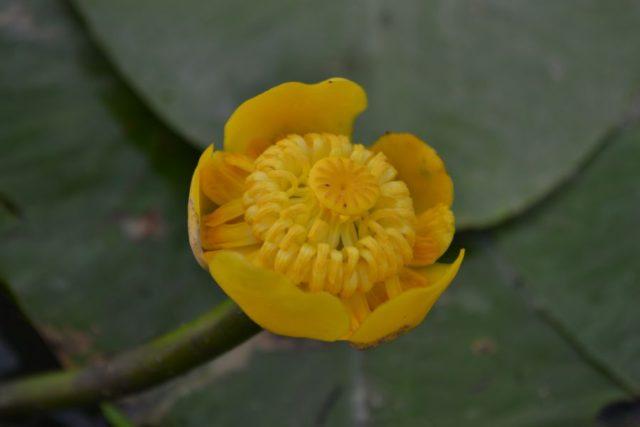 Желтые восковидные цветки
