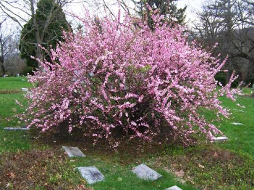 Обильные ярко-розовые цветки
