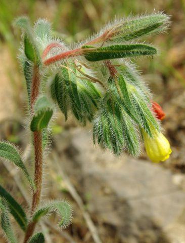Растение с соцветиями светло-желтых цветков