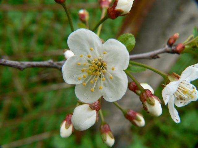 Махровые и очень душистые цветки