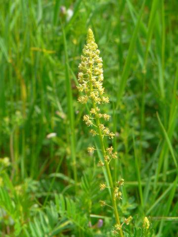 Короткие тонкие кисти мелких цветков
