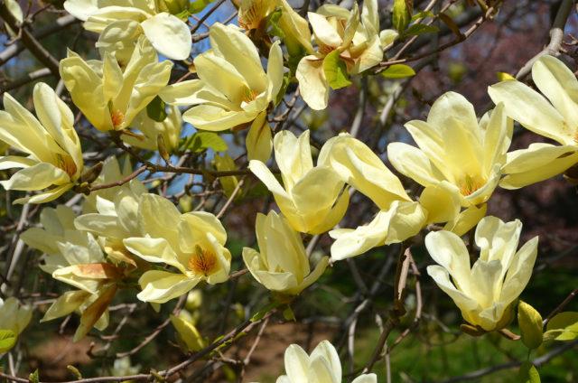 Светлые лимонно-желтые цветки