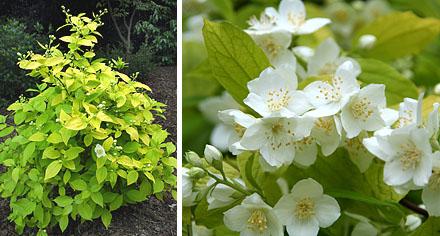Кисти полумахровых цветков