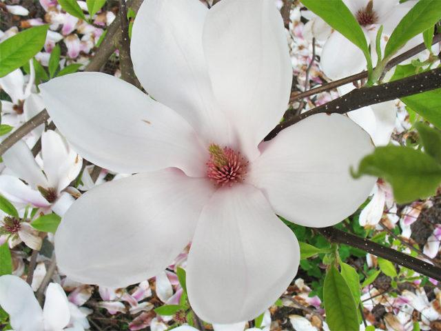 Крупные белые цветки с розовым основанием