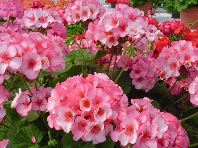 Обильно цветущее растение