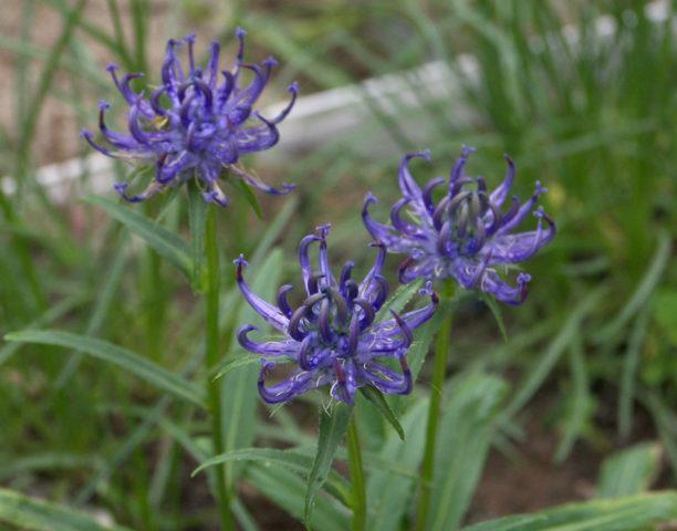 Темно-синие цветки