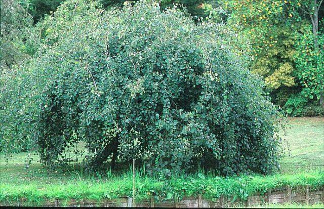Одно из самых неприхотливых плакучих деревьев