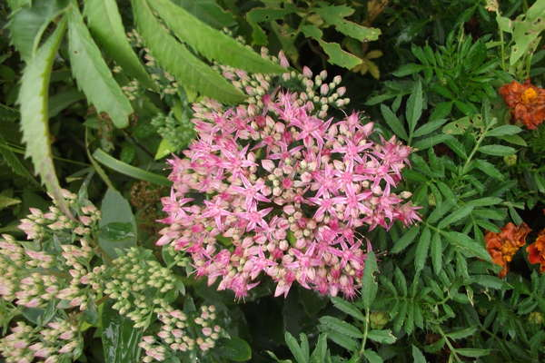 Сорт с розовым цветки
