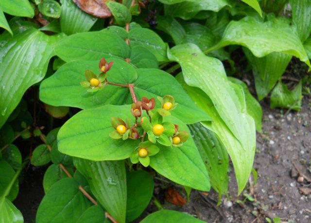 Соцветия, состоящие из ярких золотистых цветков