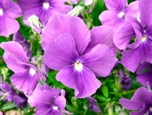 """Huntercombe Purple"""
