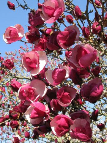 Бокаловидные красновато-пурпурные цветки около 20 см в поперечнике