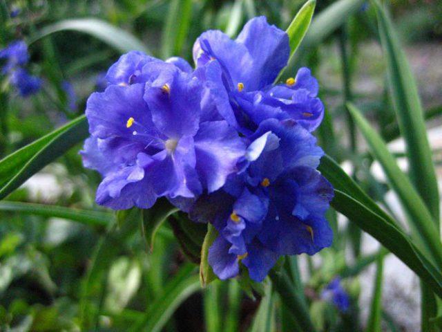 Махровые синие цветки