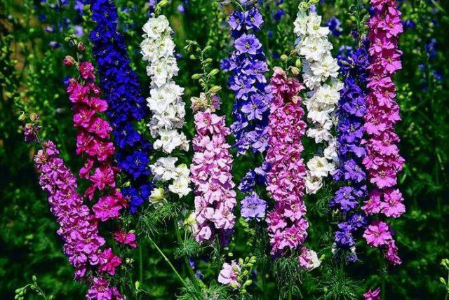 Растение компактное, образует соцветия до 75 см