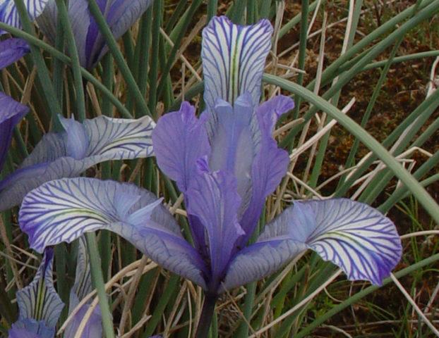 Цветки белые с голубоватым оттенком