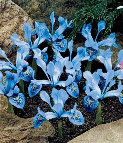 Цветки светло-голубые