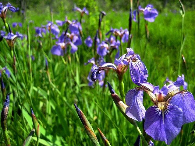 Цветки синевато-серые или темно-фиолетовые