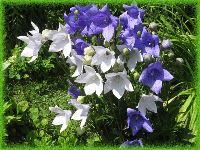 Данной разновидности присущи белые цветки