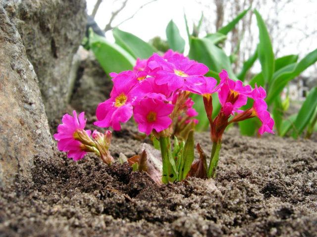 Образует зонтики поникающих густо-лиловых воронковидных цветков
