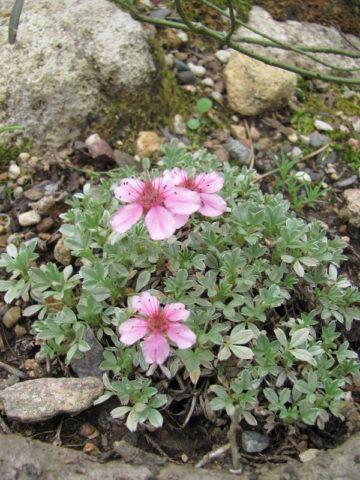 Сидячие необычные светло-розовые цветки