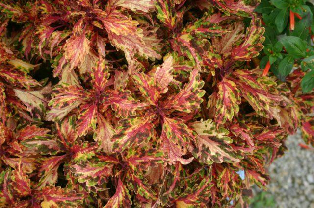 Листья зелено-красные