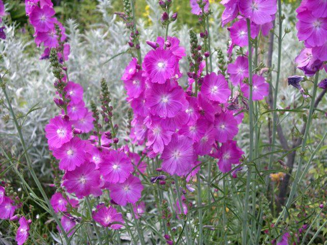 Темно-розовые цветки