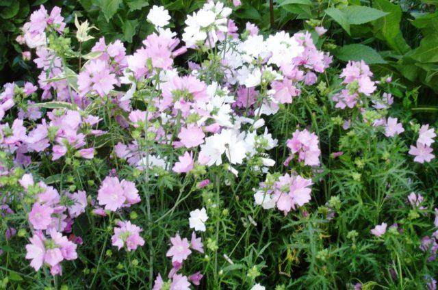 Чисто-белые цветки
