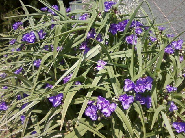 Лавандово-синие цветки