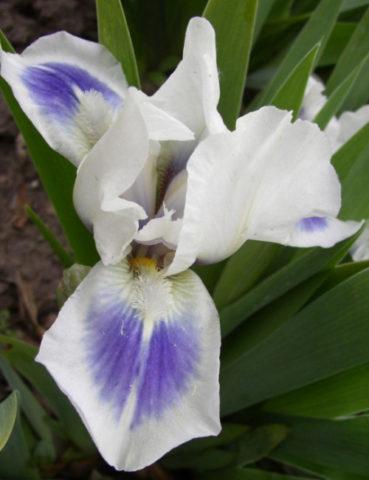 Цветки белые с темно-синим пятном