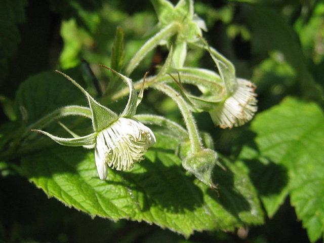 Овальные 3-5-лопастные листья