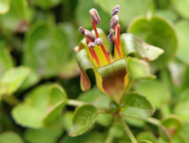 Растение образует характерные светло-оранжевые цветки