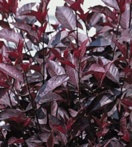 Глянцевые листья