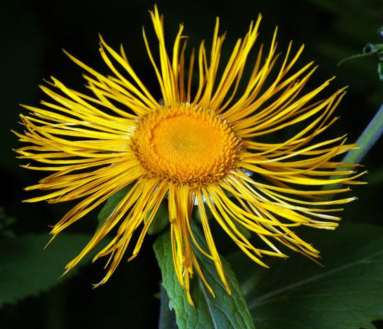 Золотисто-желтые соцветия
