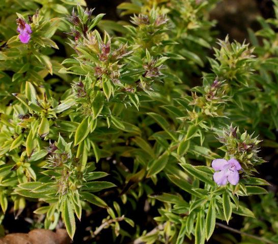 Вечнозеленое растение