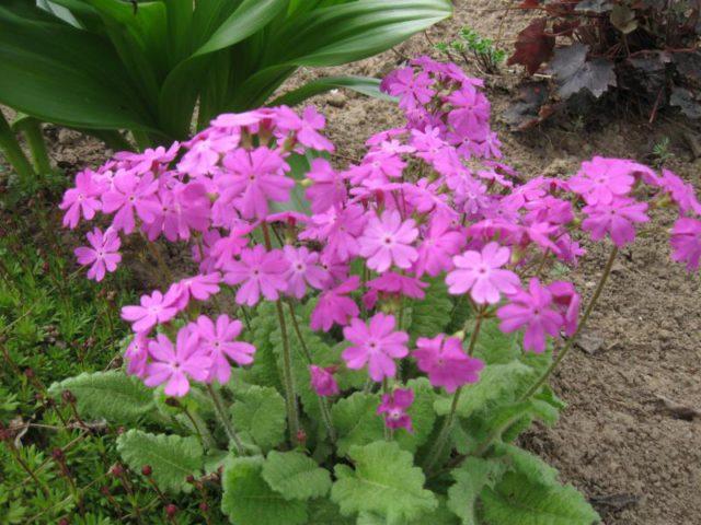 Цветки густо-малиновые