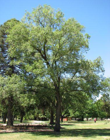 Листопадное дерево с узкоконической кроной