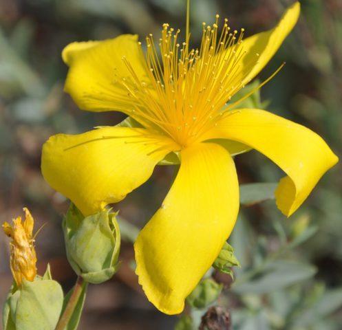 Соцветия, состоящие из золотистых цветков
