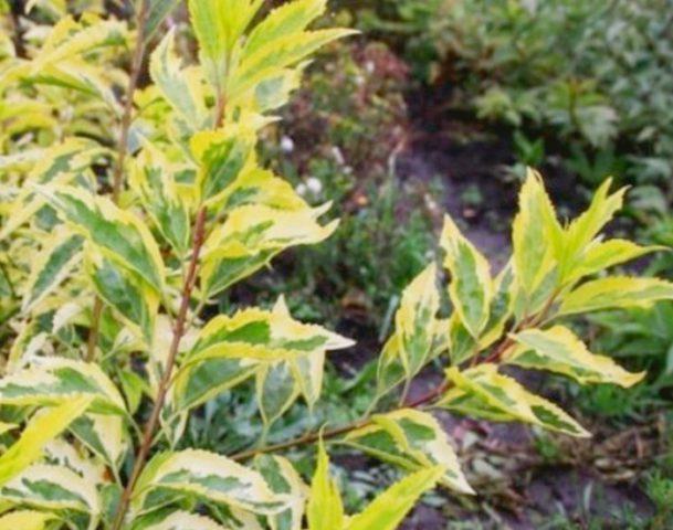 Зубчатые листья с желтыми краями