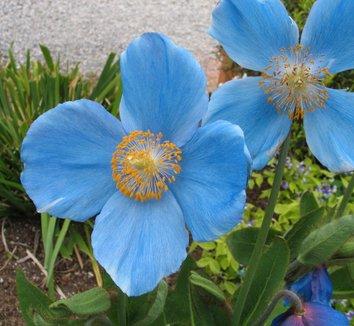 Крупные голубые цветки