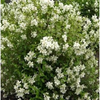 Кисти ароматных цветков