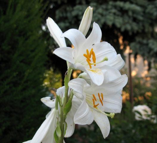 Широковоронковидные цветки