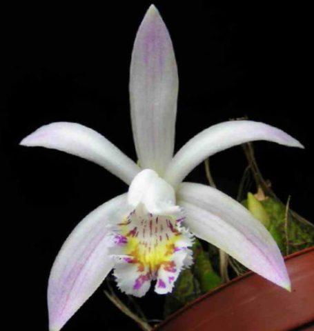 У сорта цветки белые с желтым узором