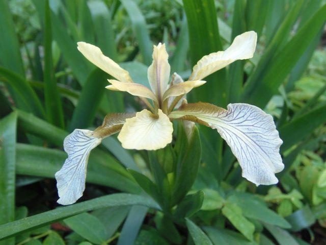 L. foetidissima