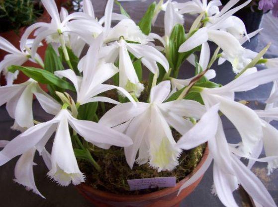 Цветки белые со слабо розоватым оттенком