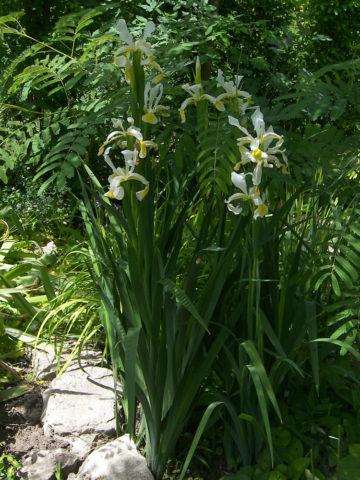 Цветки крупные, белые