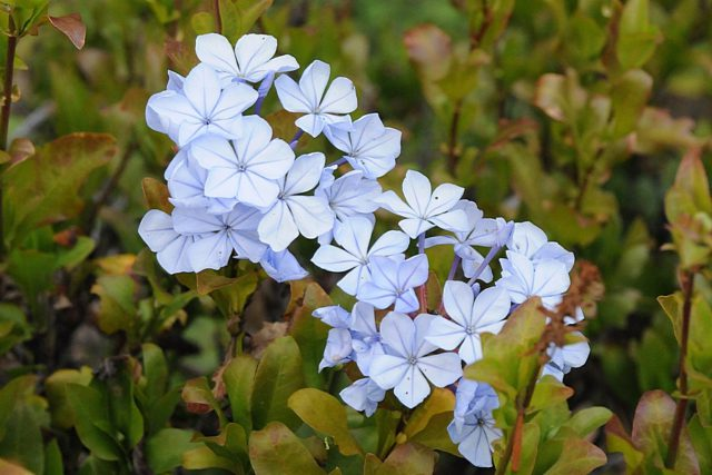 Верхушечные кисти узкотрубчатых голубовато-бурых цветков