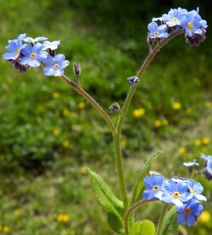 Цветки голубые, ароматные