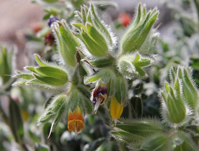 Растение Нирембергия: фото, виды, выращивание из семян в домашних условиях, посадка и уход
