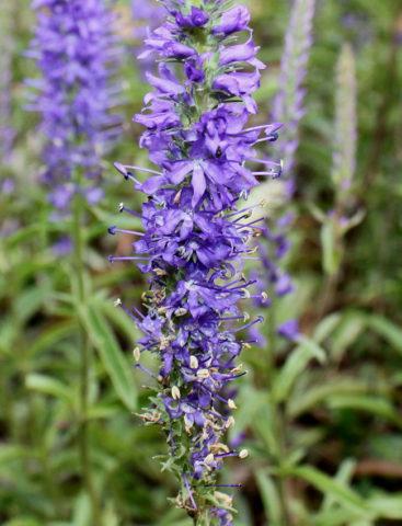 Вероника (фото цветов) - советы, секреты, рекомендации